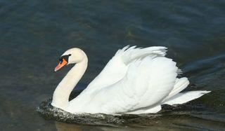 Schwan - Schwan, Wasser, Schwäne, Wasservogel, Höckerschwan, Schnabel, weiß, Wasser