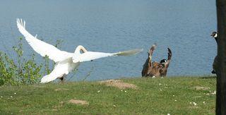 Schwan beim Angriff  #2 - Schwan, Wasser, Schwäne, Wasservogel, Höckerschwan, Schnabel, weiß, Wasser, fliegen, Angriff