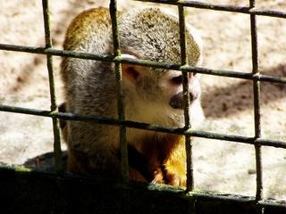 Äffchen hinter Gitter - Affe, Äffchen, klein, Tierschutz, Wahrzeichen, Tierhaltung, artgerecht, Ethik, Käfig, Totenkopfäffchen, Artenschutz, Säugetier, gefangen, Gefängnis, hinter, Gitter