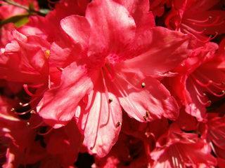 Rhododendron - Zierpflanze, Gartenpflanze, Heidekrautgewächs, Rhododendron, Blüte, Staubgefäße