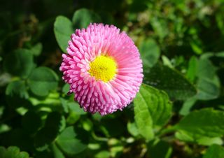 Tausendschön - Blüte, Blume, Pflanze, Gänseblümchen, Bellis perennis, mehrjähriges Gänseblümchen, Maßliebchen, Tausendschön, Margritli, Kleine Margerite