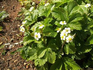 Blüte der Walderdbeere - Erdbeeren, Walderdbeeren, Pflanzen, Obst, Garten, Rosengewächs