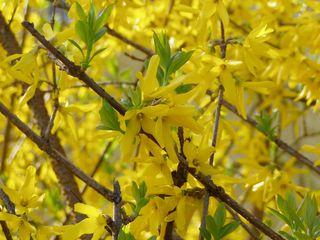 Blüten der Forsythie - blühen, Blüten, Frühling, Forsythie, Zierstrauch, gelb, Osterstrauch