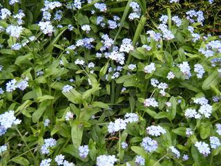Vergissmeinnicht - Vergissmeinnicht, Blüten, Frühling, Frühblüher, blau, einjährig, Symbol, Freimaurer