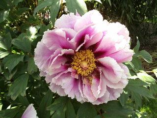 Strauch-Pfingstrose - Pfingstrose, Paeonie, Blüte, Blume, Gartenpflanze, Zierpflanze
