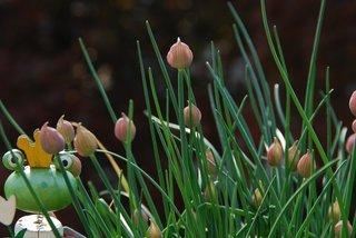 Schnittlauch - Schnittlauch, Lauch, krautig, Pflanze, Impulsbild, Schreibanlass, Erzählanlass, Frosch, Froschkönig