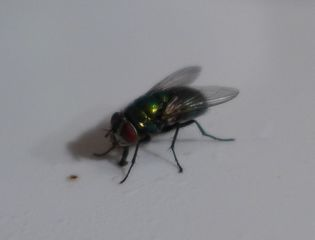 Fliege - Augen, Körperteile, Insekten, Fluginsekt, Zweiflügler, Sechsfüßer, Fliege, Flügel, Hautflügel, Netzaugen, Rüssel