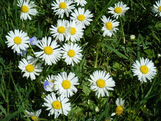 Gänseblümchen - Blüte, Blume, Pflanze, Gänseblümchen, Bellis perennis, mehrjähriges Gänseblümchen, Maßliebchen, Tausendschön, Margritli, Kleine Margerite