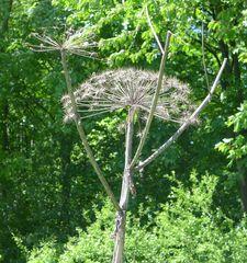 Herkulesstaude - Herkulesstaude, Bärenklau, Doldenblütler Apiaceae