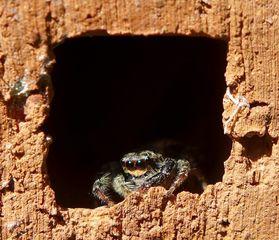 Springspinne  #1 - Insekt, Spinne, Springspinne, Mauer-Hüpfspinne, salticus cingulatus, platycryptus undatus