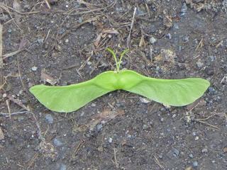 Ahornfalter - Falter, Ahorn, papilio pseudoplatanus vulgaris