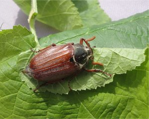 Maikäfer - Maikäfer, Insekt, Käfer, Blatthornkäfer, fliegen, Rarität