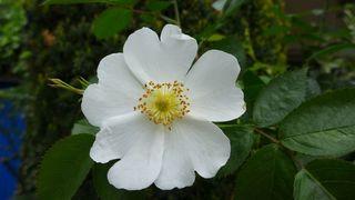 Heckenrose #1 - Heckenrose, Hundsrose, Wildrose, Hagrose, Blütenblatt, Hagebutte, Polyploidie, weiß, Kronblätter, Staubblätter, Staubgefäße, Kelchblätter