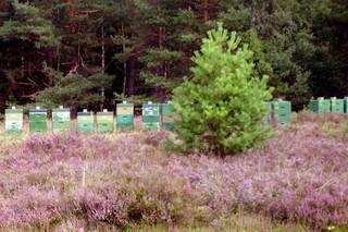 Bienenkästen #3 - Bienen, Bienenstock, Beute, Bienenkasten, Schwarm, Imkerei, Bienenvolk, Wanderimker, Heide, Heideblüte, Heidehonig