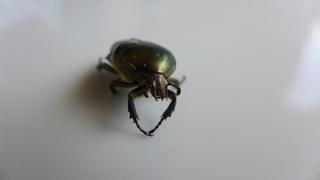 Rosenkäfer - grün, schillernd, Insekt, glänzen, Cetonia aurata, Rosenkäfer, Käfer, Goldrosenkäfer, Gliedertier, Blatthornhäfer, geschützt, glänzen, glänzend, schillernd