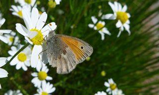 Kleiner Heufalter - Schmetterling, Wiesenvögelchen, Falter, Tagfalter, Coenonympha pamphilus, Kleiner Heufalter, Nymphalidae, Augenfalter, Satyrina