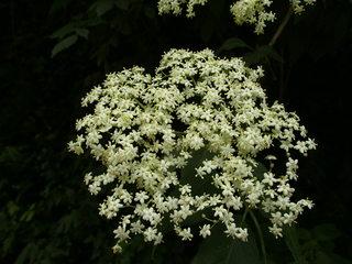Holunderblüte - Holunder, Blüte, Dolde, Heilpflanze, Holderbusch, schwarzer Holunder, Holler, Sambunigrin