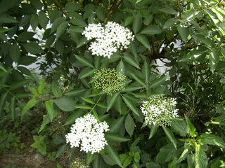 Blütenstände Holunder - Moschuskrautgewächs, Holunder, Sambucus caerulea, Strauch, Schirmrispe, Trugdolde, Dolde, Doldenrispe, Holler