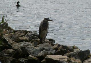 Graureiher - Gefieder, Standvogel, Schreitvogel, grau, Fischreiher, Tarnung