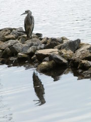 Graureiher - Gefieder, Standvogel, Schreitvogel, grau, Fischreiher, Tarnung, Spiegelung in den Wellen