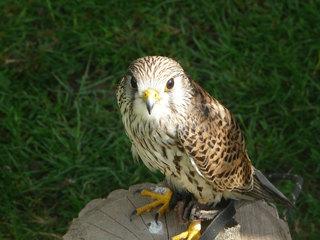 Turmfalke - Falke, Turmfalke, Jagd, Beiz, Greifvogel, Vogel, Raubvogel, jagen, achtsam, fliegen
