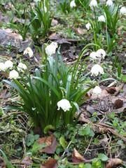 Frühlingsknotenblumen - Frühblüher, Frühling, Frühlingsknotenblume