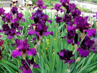 Schwertlilie, #4 - Schwertlilie, Iris, Blüte, Blume, Natur, Pflanze, mehrjährig, zwittrig, Blütenblätter, Schwertliliengewächs, Garten, Knolle, Heraldik, lila