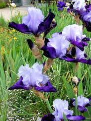 Schwertlilie #5 - Schwertlilie, Iris, Blüte, Blume, Natur, Pflanze, mehrjährig, zwittrig, Blütenblätter, Schwertliliengewächs, Garten, Knolle, Heraldik