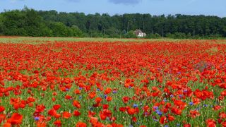 Klatschmohn - Mohn, Klatschmohn, Wiesenblume, Mohnblume, rot