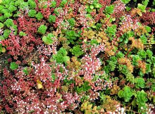 Beet mit verschiedenen Sukkulenten - Sukkulente, Hauswurz, Hauswurzen, Sempervivum, Dickblattgewächs, Steinbrechgewächs, Pflanze