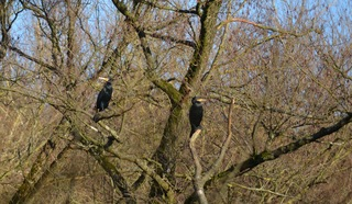 Kormorane - Phalacrocorax carbo, Vögel, Vogel, Ruderfüßer, Kormorane, Meerrabe, Wasserrabe