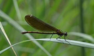 Libelle Blauflügel-Prachtlibelle. - Libelle, Calopteryx virgo, Kleinlibelle, Prachtlibelle, blau, Flügel, Fluginsekt, Flugkünstler