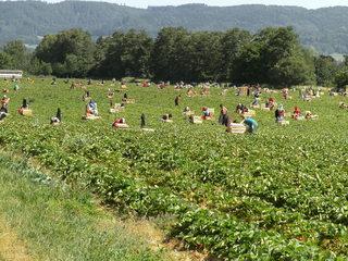 Erdbeerernte#1 - Ernte, Erdbeerernte, Erdbeerpflücker, Erdbeerfeld, Erntehelfer, Landwirtschaft