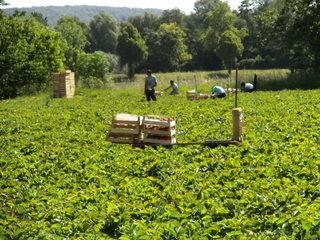 Erdbeerernte#2 - Ernte, Erdbeerernte, Erdbeerpflücker, Erdbeerfeld, Erntehelfer, Landwirtschaft