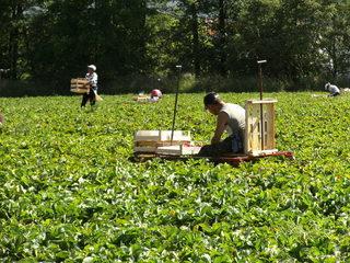 Erdbeerernte#3 - Ernte, Erdbeerernte, Erdbeerpflücker, Erdbeerfeld, Erntehelfer, Landwirtschaft