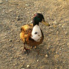 Stockente#2 - Ente, Erpel, Kopf, bunt, Schnabel, Vogel
