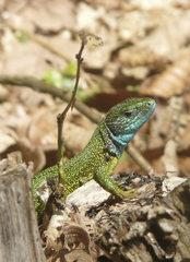 Smaragdeidechse - Smaragdeidechse, Eidechse, Reptil, Donauleiten, wärmeliebend