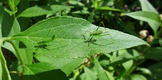 Heuschrecken - Heupferd, Heuschrecke, Grashüpfer, grün, springen, Insekt, Insekten, Fühler, fliegen, zirpen, wechselwarm, nachtaktiv, punktierte Zartschrecke, Lptophyes punctatissima, Laubheuschrecke