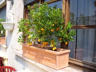 Citrusbäumchen - Italien, Gardasee, Lazise, Bäumchen, Citrusfrüchte, Fensterschmuck, Zitronen, Terrakotta, Blumenkasten, Frucht