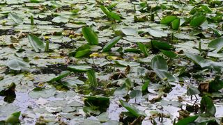 Froschkönig #2 - Suchbild, Frosch, Froschkönig, Waldteich, Teich, Teichrose, Amphibien