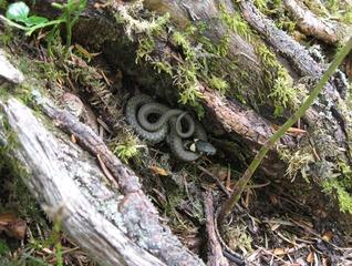 Ringelnatter - Ringelnatter, Schlange, Kriechtier, Reptil, schlängeln, Natrix natrix