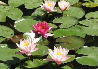 Seerosen - Seerose, Wasserpflanze, Teich, Gewässer, Blüte, rosa, pink, Schwimmblätter