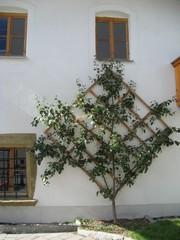 Spalierobstbaum - Spalier, Obst, Obstbaum, Quadrat, Rechteck, parallel, Mathematik, Wuchsform, Leitäste, Gartenbau, Obstbau