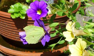 Zitronenfalter - Zitronenfalter, Gonepteryx rhamni, Falter, Tagfalter, Schmetterling