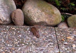 Waldmaus #2 - Maus, Haselmaus, Nagetier, nachtaktiv, Bilche