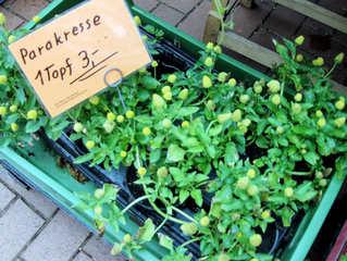 Kräuter #10  Jambú - Jambú, Parakresse, toothache plant, Kraut, Gewürz