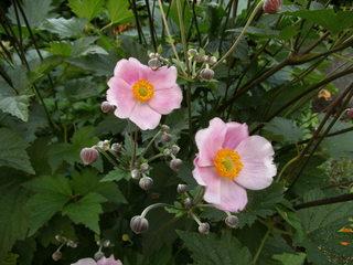 Herbstanemone - Herbstanemone, Windröschen, Hahnenfußgewächs, Bedecktsamer, mehrjährig, krautig, Blüten, rosa
