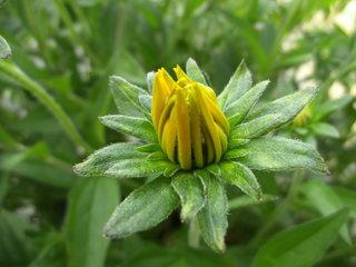 Knospe einer Strauchmargerite - Strauchmargerite, Goldmargerite, Korbblütler, Gartenpflanze, Zierpflanze, Strauch, Sommer, gelb, Kübelpflanze, Blüten