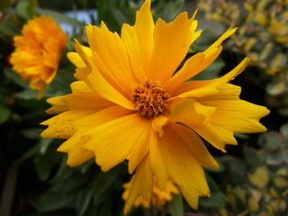Mädchenauge#2 - Mädchenauge, Staudenpflanze, Korbblütler, Schöngesicht, Zierpflanze, gelb, Blüte