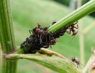 Ameisen und Blattläuse - Blattlaus, Ameise, Symbiose, melken, Honigtau